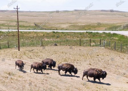 Editorial photo of American bison graze in Wyoming, Wright, USA - 05 Jul 2020