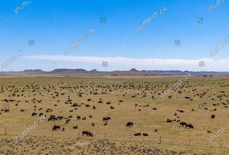 Stock Image of An image taken with a drone shows an aerial view of a herd of American bison (Bison bison), also known as buffaloes, grazing near Wright, Wyoming, USA, 05 July 2020. According to recent estimates, the number of these shaggy-haired bovines roaming throughout the US once reached 60 million before being hunted into near-extinction, leaving fewer than just 100 wild individuals in the 1880s. Today, the number of bison spread across the continent is estimated at around 500,000 specimens.