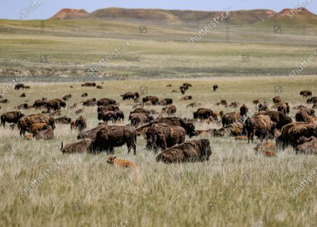 Editorial picture of American bison graze in Wyoming, Wright, USA - 05 Jul 2020