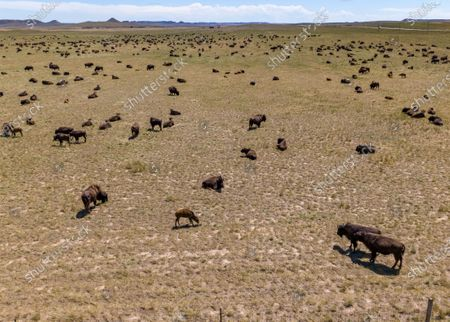 Stock Photo of An image taken with a drone shows an aerial view of a herd of American bison (Bison bison), also known as buffaloes, grazing near Wright, Wyoming, USA, 05 July 2020. According to recent estimates, the number of these shaggy-haired bovines roaming throughout the US once reached 60 million before being hunted into near-extinction, leaving fewer than just 100 wild individuals in the 1880s. Today, the number of bison spread across the continent is estimated at around 500,000 specimens.