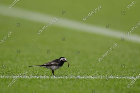 A wagtail sits on the pitch during the English Premier League match between Everton and Southampton in Liverpool, Britain, 09 July 2020.