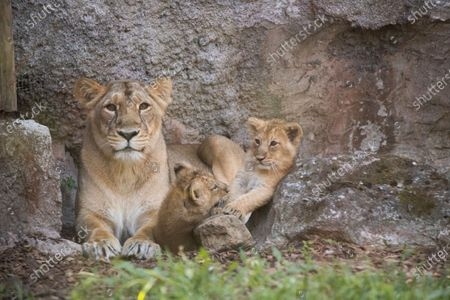 Two Asiatic lion (Panthera leo persica) female cubs born on April 29, 2020 play next to their mother during a presentation for the press at Rome's Bioparco Zoo, . The