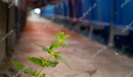 A plant grows in between seats in the stands at QPR due to the lack of spectator footfall since Coronavirus lockdown