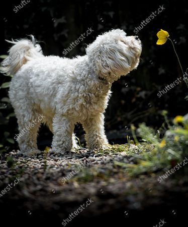 """A dog is pictured sniffing the flower of a California Poppy, while out on a walk.  The Cavapoochon, a triple-cross breed, Cavalier King Charles, Bichon Frise and Toy Poodle, call Nahla appears to be enjoying the scent given off by the flower which is also called a Eschscholzia Californica.   Stephen Miles, 57, a mechanical engineer from Beeston, Nottingham has been working from home for the last 12 weeks.  While working in his front room he spotted his neighbours dog in their front garden   Stephen said, """"Nahla was out for a walk when she made a bolt for the flowers in our front garden whilst her owner Aiden stayed on the pavement. I grabbed the camera and was pleased with the final images of her sniffing the flowers."""""""