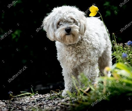 """Stock Picture of   A dog is pictured sniffing the flower of a California Poppy, while out on a walk.  The Cavapoochon, a triple-cross breed, Cavalier King Charles, Bichon Frise and Toy Poodle, call Nahla appears to be enjoying the scent given off by the flower which is also called a Eschscholzia Californica.   Stephen Miles, 57, a mechanical engineer from Beeston, Nottingham has been working from home for the last 12 weeks.  While working in his front room he spotted his neighbours dog in their front garden   Stephen said, """"Nahla was out for a walk when she made a bolt for the flowers in our front garden whilst her owner Aiden stayed on the pavement. I grabbed the camera and was pleased with the final images of her sniffing the flowers."""""""