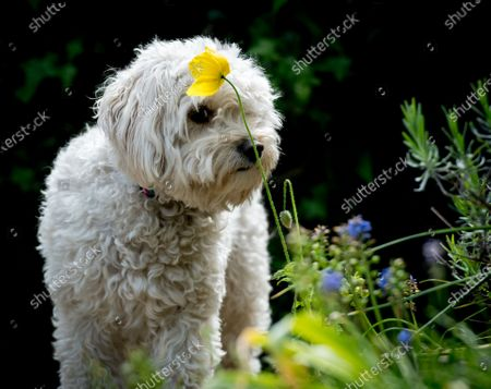 Editorial photo of A Sniffer Dog, Nottingham, UK - 14 May 2020