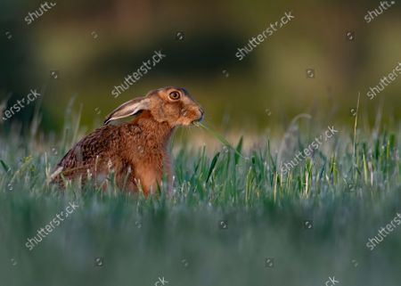 "Stock Image of WHAT'S UP DOC?   This brown hare bears a striking resemblance to Bugs Bunny as he chews on a fresh grass root as he roams farmland in Milton Keynes, north-west of London.   The Loony Tunes moment was caught by amateur photographer Lee Wilcocks.   The wild brown hare is seen with his ears tucked back and a grass root draping from his mouth as he goes about the farmland in search for his supper.   Mr Willcocks said ""I was watching this hare for 20 minutes as he was chomping on free grass roots. He had no idea I was there"".  ""He definitely looks like Bugs Bunny, and interestingly whilst it's unclear as to whether Bugs Bunny is a rabbit or hare, when he first came to screens in the 1940's he was called a wild hare""."