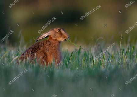 Editorial image of Brown hare seen in Milton Keynes, United Kingdom - 22 Jun 2020