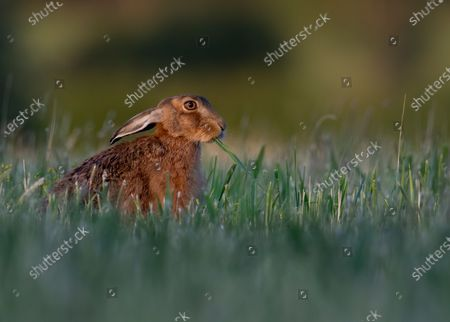 Editorial picture of Brown hare seen in Milton Keynes, United Kingdom - 22 Jun 2020