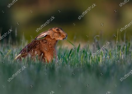 "WHAT'S UP DOC?   This brown hare bears a striking resemblance to Bugs Bunny as he chews on a fresh grass root as he roams farmland in Milton Keynes, north-west of London.   The Loony Tunes moment was caught by amateur photographer Lee Wilcocks.   The wild brown hare is seen with his ears tucked back and a grass root draping from his mouth as he goes about the farmland in search for his supper.   Mr Willcocks said ""I was watching this hare for 20 minutes as he was chomping on free grass roots. He had no idea I was there"".  ""He definitely looks like Bugs Bunny, and interestingly whilst it's unclear as to whether Bugs Bunny is a rabbit or hare, when he first came to screens in the 1940's he was called a wild hare""."