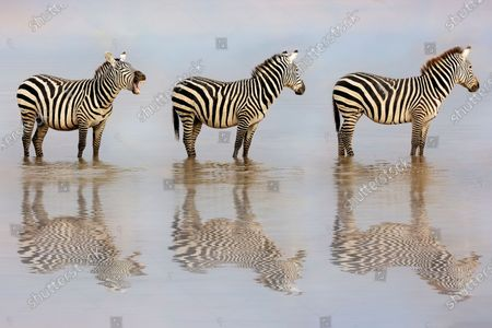 """It's a zebra crossing.....Three zebras cross a lake in single file through some early morning mist.  The trio walked through the lake in Amboseli National Park in Kenya, Africa while reflecting on the surface of the water which was agitated by their passing.  Linda Lester, 61, from Canton, Georgia in the USA said, """"""""This was just so funny. I'm not sure if he was asking them to move or just yawning""""  """"Photography is not a profession for me but a passion."""""""