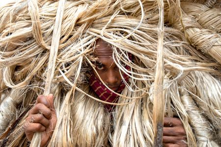 Stock Photo of Workers appear to be wearing large golden wigs as they carry a heavy bundle of jute fibre. Their bodies are enveloped with the heavy natural fibres, with only their faces visible as they each carry around 50kg of jute on their shoulders.  The unusual images were captured by photographer Azim Khan Ronnie in Manikganj, Bangladesh.