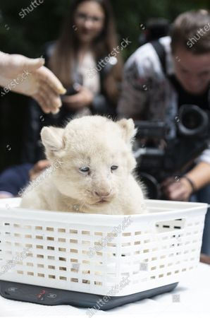 The weight of one of the one-month-old female white lion cubs (Panthera leo krugeri) triplets is measured at Nyiregyhaza Animal Park, in Nyiregyhaza, Hungary, 27 July 2020. The three cubs underwent a medical examination for the first time.