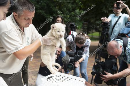 Keeper Bela Toth puts one of the one-month-old female white lion cubs (Panthera leo krugeri) triplets into a basket for weighing in Nyiregyhaza Animal Park, in Nyiregyhaza, Hungary, 27 July 2020. The three cubs underwent a medical examination for the first time.
