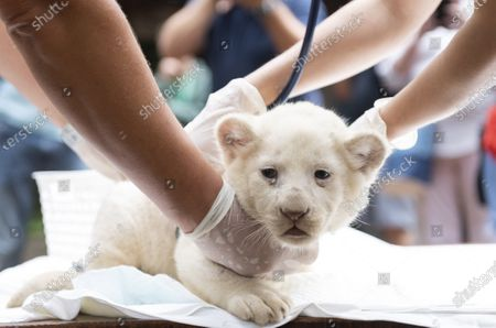 One of the one-month-old female white lion cubs (Panthera leo krugeri) triplets undergoes a medical examination in Nyiregyhaza Animal Park in Nyiregyhaza, Hungary, 27 July 2020. The three cubs underwent a medical examination for the first time.