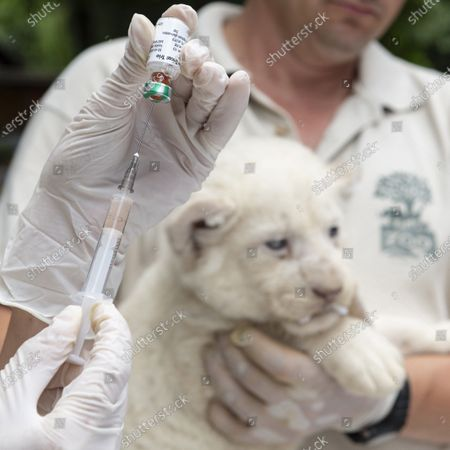 One of the one-month-old female white lion cubs (Panthera leo krugeri) triplets receives vaccination in Nyiregyhaza Animal Park in Nyiregyhaza, Hungary, 27 July 2020. The three cubs underwent a medical examination for the first time.