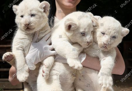 A keeper holds the one-month-old female white lion cubs (Panthera leo krugeri) triplets in their outdoor enclosure in Nyiregyhaza Animal Park in Nyiregyhaza, Hungary, 27 July 2020.