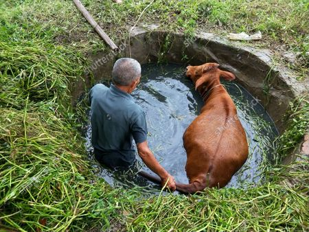 Stock Picture of July 27, 2020, Xiaogan City, Hubei Province, Yunmeng County, Chengguan town Of Xiao Li Village, a cattle grazing stragglers into the water cellar. The owner of the cattle invited everyone to work as one, and finally the cattle from the water cellar up, fortunately, the cattle did not hinder.