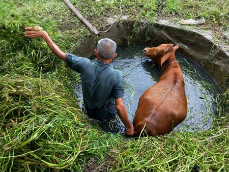 Editorial picture of Cattle accidentally into the water cellar all concerted rescue, Xiaogan, China - 27 Jul 2020