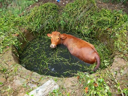 Editorial photo of Cattle accidentally into the water cellar all concerted rescue, Xiaogan, China - 27 Jul 2020