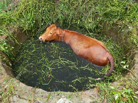 July 27, 2020, Xiaogan City, Hubei Province, Yunmeng County, Chengguan town Of Xiao Li Village, a cattle grazing stragglers into the water cellar. The owner of the cattle invited everyone to work as one, and finally the cattle from the water cellar up, fortunately, the cattle did not hinder.