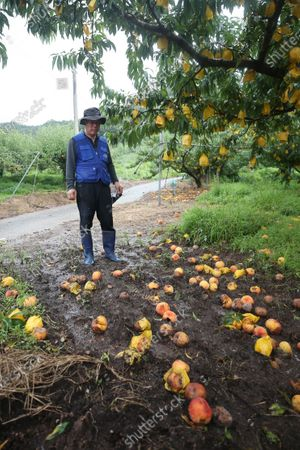 A farmer looks at rotten and crushed peaches at an orchard after heavy rain and strong winds in Hwasun, South Korea, 10 August 2020.