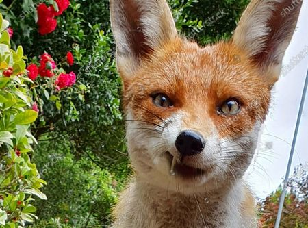 """This inquisitive fox isn't shy of people as it edges closer to the camera and shows off by giving her best Elvis Presley impression.  The fox, known by photographer Paul Lunn as 'Foxy Loxy' has been visiting his families garden in Essex for two years and has become a part of the family.   She can be seen sniffing some food left for her and shows off to the camera, giving her best Elvis Presley impression.   40 year-old Mr Lunn said """"She is very inquisitive and isn't shy at coming up to you. In the image she was caught just as she was about to lick her lips"""""""