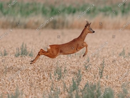 """Stock Photo of A deer takes an early morning leap through a field of wheat in Boultham Mere, Lincoln.  The roe deer was in a field off a track used by dog walkers.   Andrew Scott, 45, from North Hykeham, Lincolnshire, who spotted the buck said, """"I saw the deer and managed to get a little closer, it eventually noticed me and then ran to the left before bolting to the right. I'd been watching it for around 10 mins before it eventually spotted me.""""  """"It took me by complete surprise when it leap at full height, I wasn't expecting that at all!"""""""