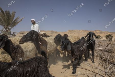 Egyptian farmer and shepherd Abu Mazen walks his sheep after they grazed on dry land that was once fertile and green, in Second Village, Qouta town, Fayoum, Egypt, . Second Village, was one of multiple agricultural communities created in Egypt in the 1960s by the socialist government of President Gamal Abdel-Nasser. Built on reclaimed desert, it depends for irrigation on the Yusuf Canal, which flows from the Nile through Fayoum, fanning out in a series of channels. The villagers enumerated the variety of crops they used to farm, ranging from cotton and vegetables to wheats and grains