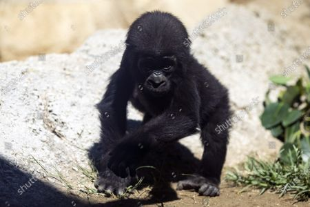 Angela the baby gorilla is photographed in the gorillas' enclosure as the Los Angeles Zoo reopens after 166 days amid the coronavirus pandemic in Los Angeles, California, USA, 26 August 2020. Born in March 2020, Angela is the first baby western lowland gorilla born at the Los Angeles Zoo in over 20 years.