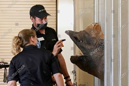 Pregnant Indian rhino Niki gets a treat from Daniel Custar, center, lead caretaker, as Dr. Jennifer D'Agostino, left, director of veterinary services, left, looks, at the Oklahoma City Zoo, in Oklahoma City, after D'Agostino performed an ultrasound on Niki. Niki is expected to deliver her calf in late October, following an approximately 16-month gestation