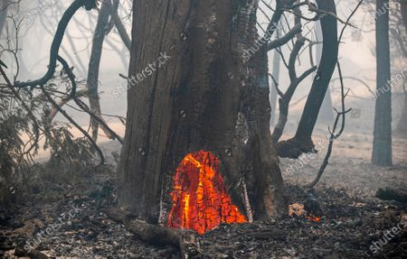 A large tree glows with burning embers more than a day after the Bear fire devastated Berry Creek on Thursday, Sept. 10, 2020 in Berry Creek, CA. (Brian van der Brug / Los Angeles Times)