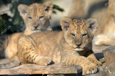 Editorial image of Newborn Barbary lion cubs in Dvur Kralove Safari Park, Dvur Kralove nad Labem, Czech Republic - 13 Sep 2020