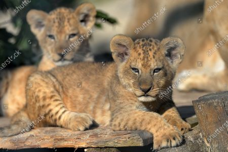 Three Barbary lion cubs rest in their enclosure with mum called Khalila. 