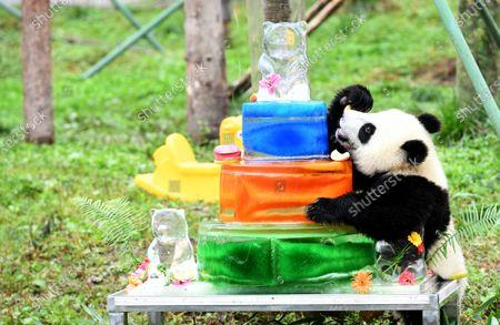 Panda babies celebrate their birthday at the kindergarten.