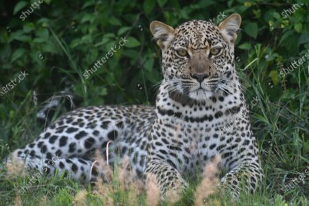 A leopard rests at the Queen Elizabeth National Park in Kasese, Western Uganda, Sept. 18, 2020.   Uganda on Sept. 5 announced that it has fully opened all its national parks as the country continues to ease lockdown restrictions.    Uganda Wildlife Authority (UWA), a state owned conservation agency, said in a statement that all parks including the primate parks are open after instituting standard operating procedures.