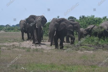 Stockfoto van Elephants roam at the Queen Elizabeth National Park in Kasese, Western Uganda, Sept. 18, 2020.   Uganda on Sept. 5 announced that it has fully opened all its national parks as the country continues to ease lockdown restrictions.    Uganda Wildlife Authority (UWA), a state owned conservation agency, said in a statement that all parks including the primate parks are open after instituting standard operating procedures.