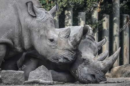 Two rhinos are seen at Beijing zoo in Beijing, China, 22 September 2020. China's leading animal protection organizations on 22 September sent an open letter to President Xi Jingping urging the Chinese government to make China the first country in Asia to ban the import of rhino hunting trophies as the World marks the Rhino Day.