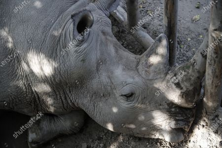 A rhino is seen at Beijing zoo in Beijing, China, 22 September 2020. China's leading animal protection organizations on 22 September sent an open letter to President Xi Jingping urging the Chinese government to make China the first country in Asia to ban the import of rhino hunting trophies as the World marks the Rhino Day.