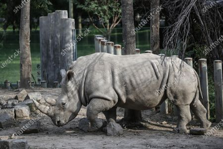 Stock Picture of A rhino is seen at Beijing zoo in Beijing, China, 22 September 2020. China's leading animal protection organizations on 22 September sent an open letter to President Xi Jingping urging the Chinese government to make China the first country in Asia to ban the import of rhino hunting trophies as the World marks the Rhino Day.