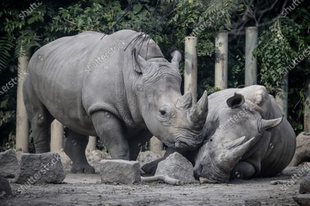 Stock Photo of Two rhinos are seen at Beijing zoo in Beijing, China, 22 September 2020. China's leading animal protection organizations on 22 September sent an open letter to President Xi Jingping urging the Chinese government to make China the first country in Asia to ban the import of rhino hunting trophies as the World marks the Rhino Day.