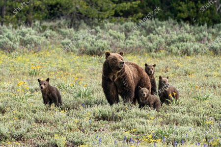 """A grizzly bear is spotted in a rare sighting with her quadruplet cubs as they go for a stroll in the Grand Tetons National Park, Wyoming, USA.  With bears usually having just two cubs, these adorable quadruplets, just six months old, are a rare sight with only eight sets having been born in the last forty years.  Photographer Pattie Walsh said, """"The cubs are quite active and playful, and it must be tricky for the mother to keep an eye on all of them"""".  """"They will stay with her for about two years, where they will be taught how to hunt and survive for themselves."""""""