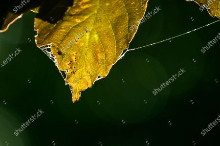 Spider web left on a backlit autumn leaves in the morning sunshine on Wimbledon Common