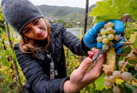 Stock Picture of Harvest helper Selina cuts grapes in the steep Calmond vineyard over the Mosel river in Bremm, Germany, . The slope is considered to be among the steepest in Europe, with inclines of up to 70 degrees