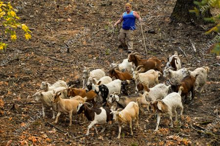 Stock Image of Jessica Sanders of American Canyon helps Chris Mashauer (not pictured) coral his goats to evacuate them as firefighters work to contain the Glass Fire in Napa County on Sunday, Sept. 27, 2020 in St. Helena, CA. (Kent Nishimura / Los Angeles Times)