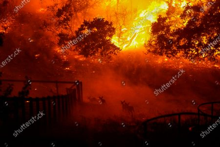 Stock Photo of Wildlife is seen running into an engulfed Skyhawk Park as firefighters battle the Shady Fire as it makes its way towards homes along Mountain Hawk Drive in Skyhawk Park on Monday, Sept. 28, 2020 in Santa Rosa, CA. (Kent Nishimura / Los Angeles Times)