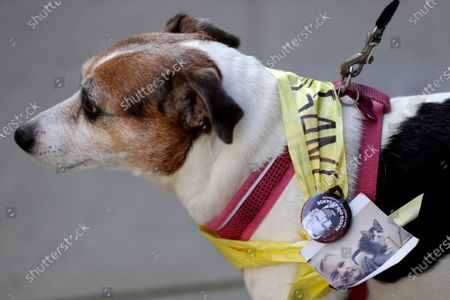 Dog wears a Free Assange badge and a photograph of Julian Assange with his cat Michi, outside the Old Bailey in London, as the Julian Assange extradition hearing to the US continues
