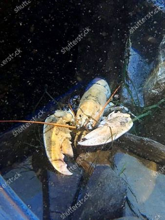 Stock Photo of A 'one in 30 million' white lobster has been donated to a hatchery after being saved from the cookery pot.  The National Lobster Hatchery in Padstow, Cornwall, received the unexpected delivery from a local fish wholesaler on Wednesday morning. (Sep 23)  The wholesaler decided the 18ins calico lobster was 'too rare to sell' and brought it into the centre for conservation.  The unusual crustaceans have a genetic condition which leaves them with little or no pigment in their shells.  They have a short life expectancy as they are less camouflaged than their common blue counterparts and much easier for predators to spot.
