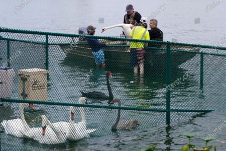 Steve Platt and Steven Williams along with others from the Lakeland Parks and Recreation Department place swans in a pen after their capture during the 40th annual swan roundup on Lake Morton, in Lakeland, Fla. The roundup gives the parks and recreation department a chance to monitor the health and vitality of Lakeland's swan population. The original swans on the lake were a gift from Queen Elizabeth of England in 1957