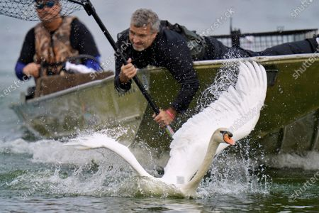 Stock Image of Swan manages to temporarily escape Steve Platt, right, and Steven Williams during the 40th annual swan roundup on Lake Morton, in Lakeland, Fla. The roundup gives the parks and recreation department a chance to monitor the health and vitality of Lakeland's swan population. The original swans on the lake were a gift from Queen Elizabeth of England in 1957